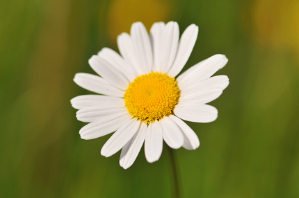 Just a daisy