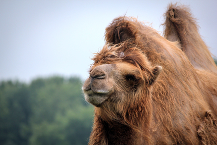 Wilds Camel