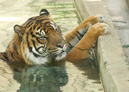 Tiger Lounges in the Water