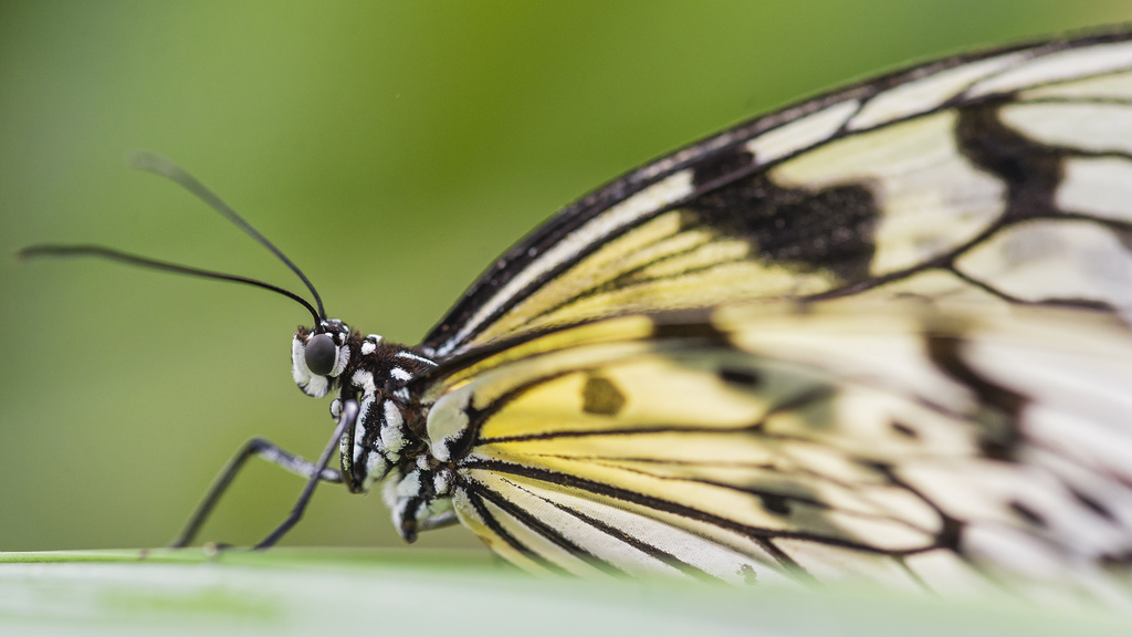 Beige and black butterfly