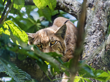 Female lynx observing
