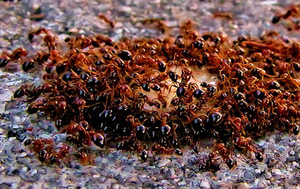 Party Ants