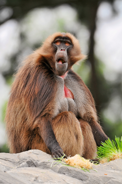 A big male gelada