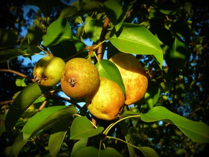 Sunset Pears