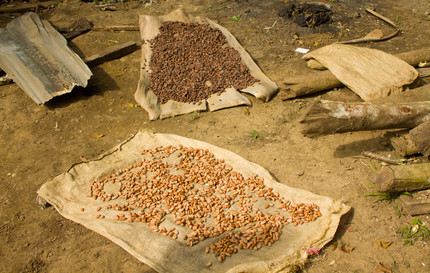 Cocoa beans drying