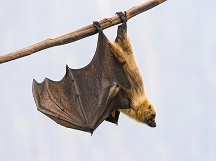 Hanging fruit bat II