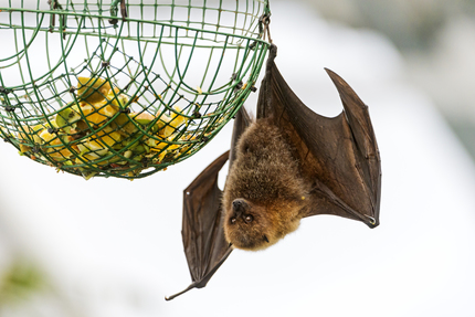 Fruit bat and food
