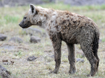 SPOTTED HYENA - a dog or a cat?