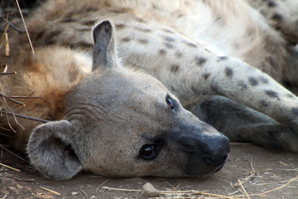 Hyena, Kruger National Park