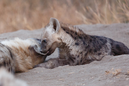 Hyena Den at Londolozi, August 2012