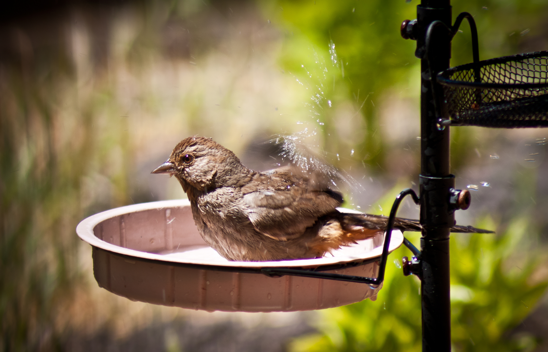 california towhee bathing in wate