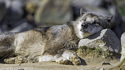 Wolf using a stone as pillow!