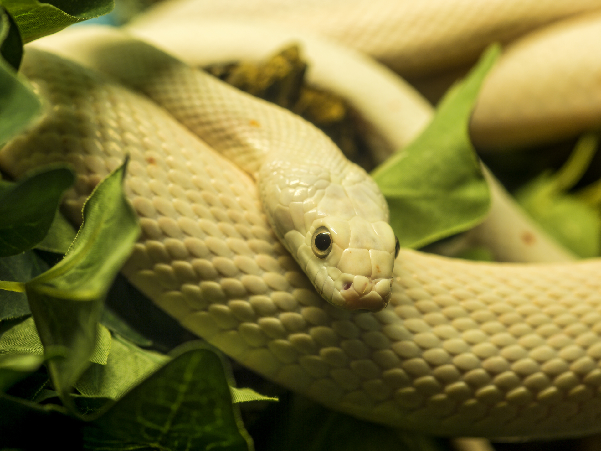 Beige-yellow snake