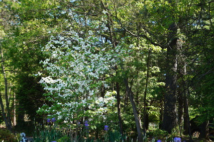 Dogwood and Iris